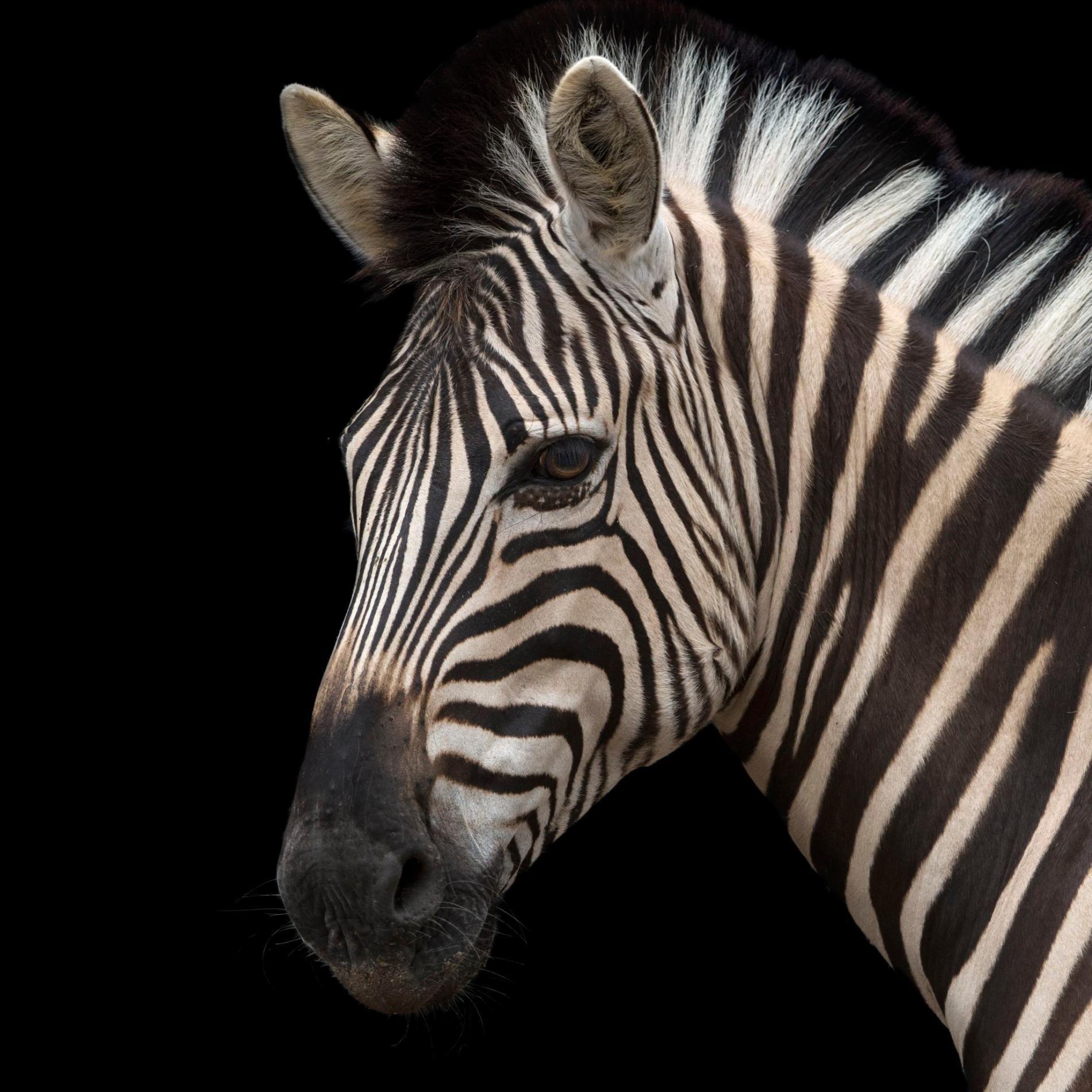 zebracan