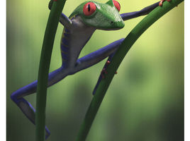 Redeyed tree frog
