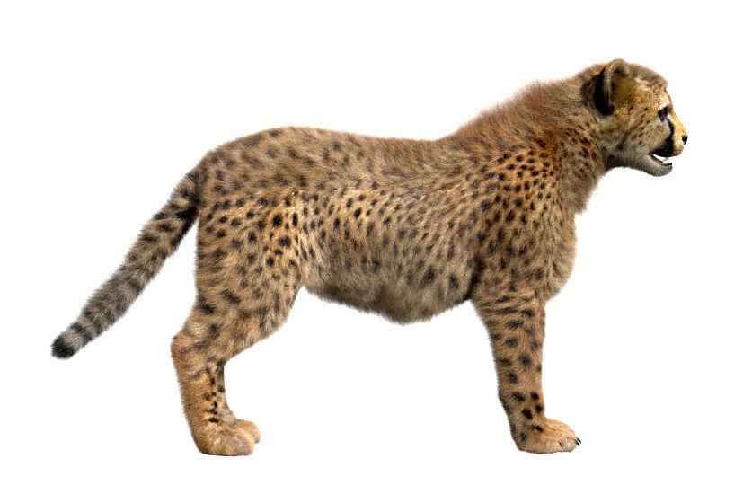 Cheetah-Baby