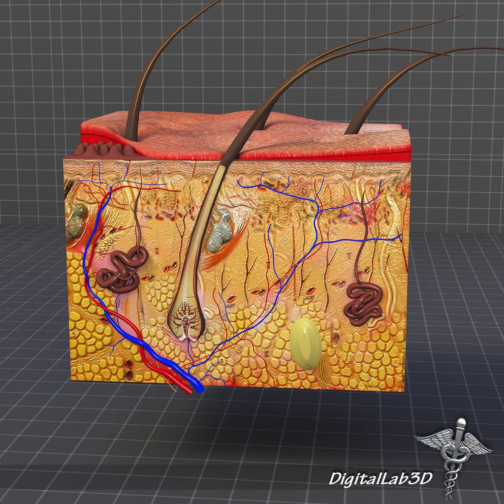 3d Model Integumentary System Of The Human Body Cgtrader