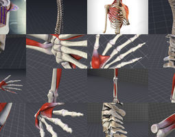 Upper Skeletal System 3D model