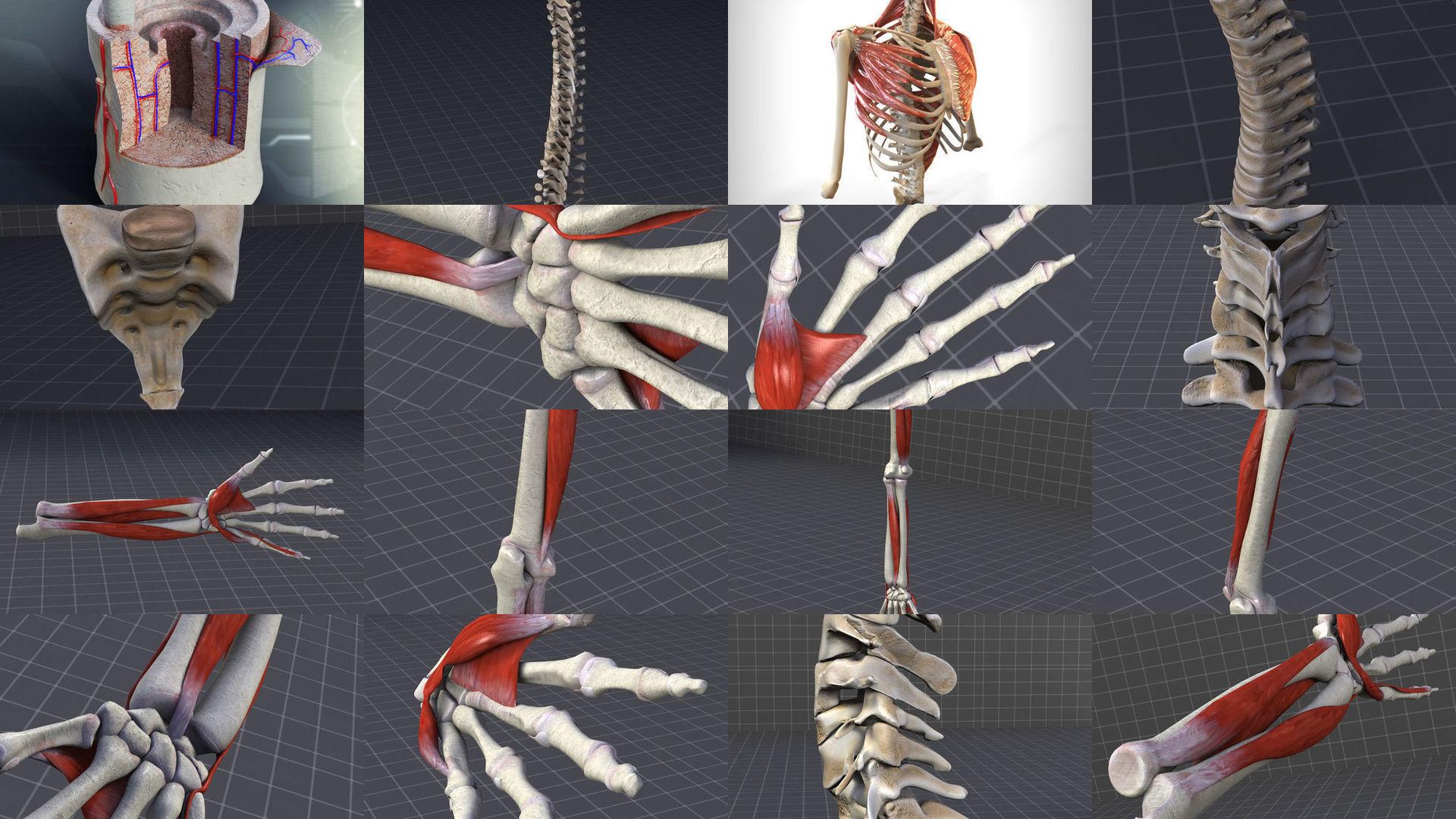 Upper Skeletal System