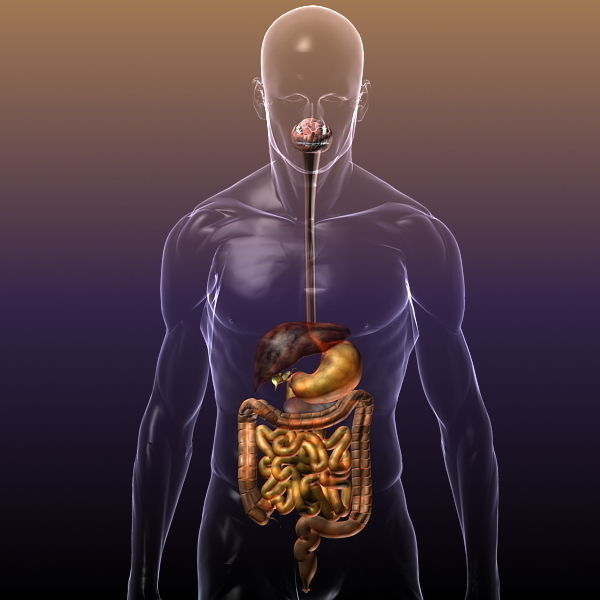 3d Model Digestive System In A Human Body Cgtrader