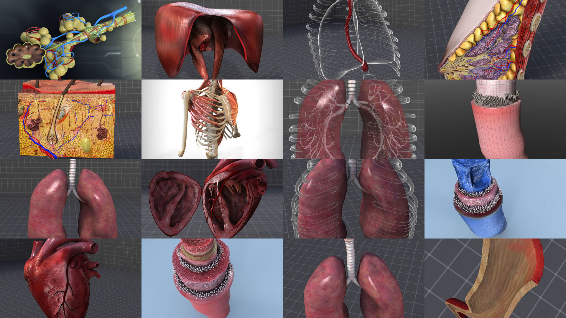 Cervical and Thoracic Anatomy Collection - Neck and Chest