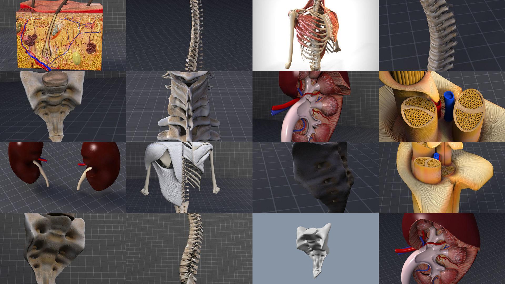 Dorsal and Lumbar Organs