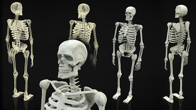 skeleton full body 3d model obj mtl 3ds fbx ma mb 1