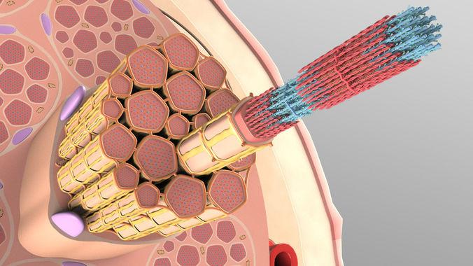 muscle fiber cross sction 3d model max 1