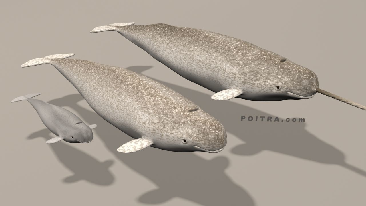 Narwhal Whales Family - Monodon Monoceros - Male Female Calf -