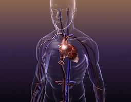 circulatory system anatomy in a human body 3d