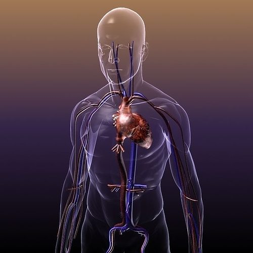 circulatory system anatomy in a human body 3d model max obj 3ds fbx c4d lwo lw lws 1