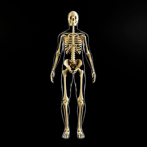 3d Model Skeleton And Human Body Cgtrader