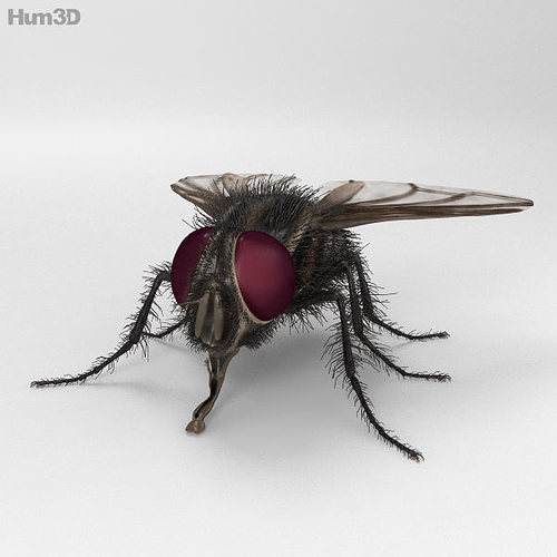 housefly high detailed 3d model max obj 3ds fbx c4d lwo lw lws 1