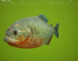 low-poly red-bellied piranha pygocentrus nattereri 3d asset