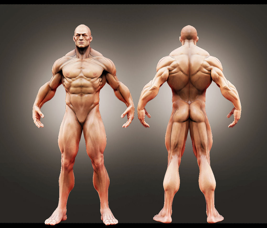 3D Male Anatomy Study | CGTrader