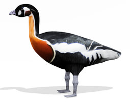 3D Red breasted goose