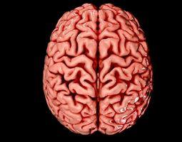 Brain Medically Accurate Brain Anatomy Model High Resolution 3D Model