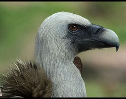 Realistic Vulture 3D Model