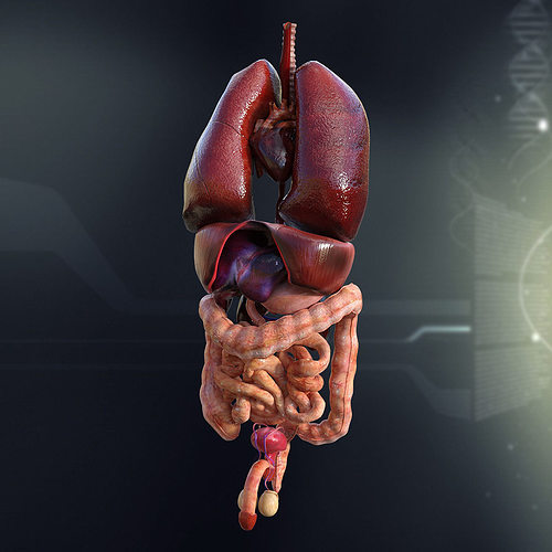 Large Human Male Internal Organs 3d Model Cgtrader