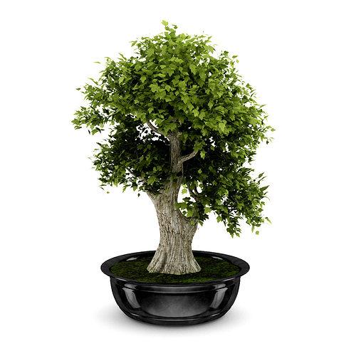 bonsai tree 3d model max obj fbx c4d 1