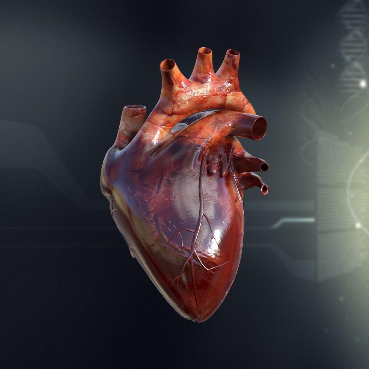 3D Human Heart Anatomy | CGTrader