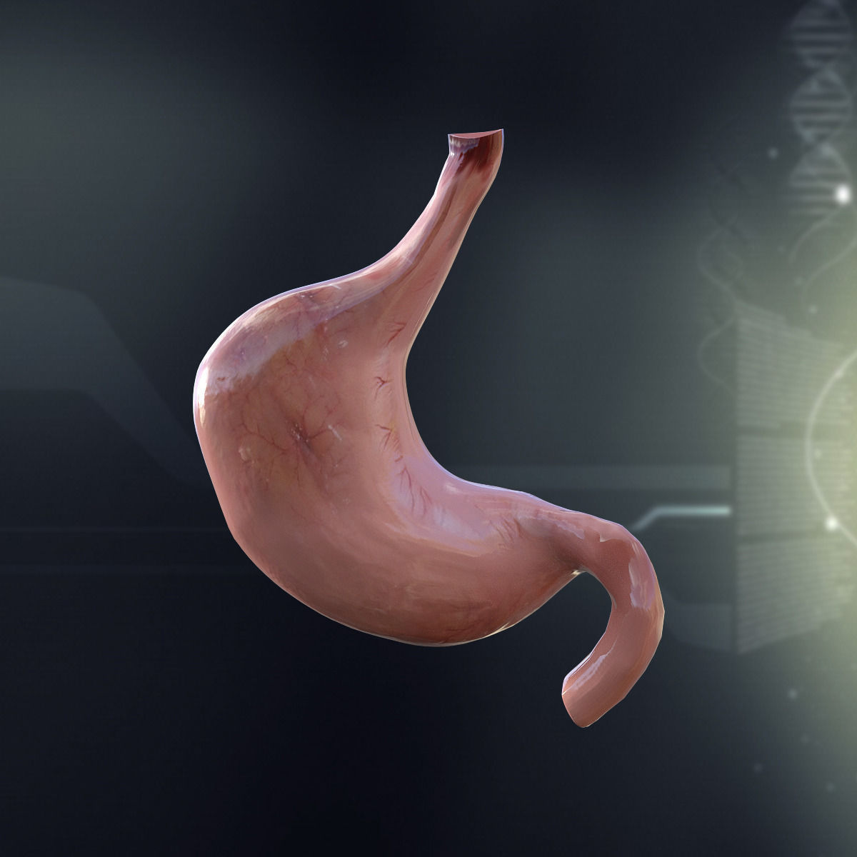 3D model Human Stomach Anatomy | CGTrader