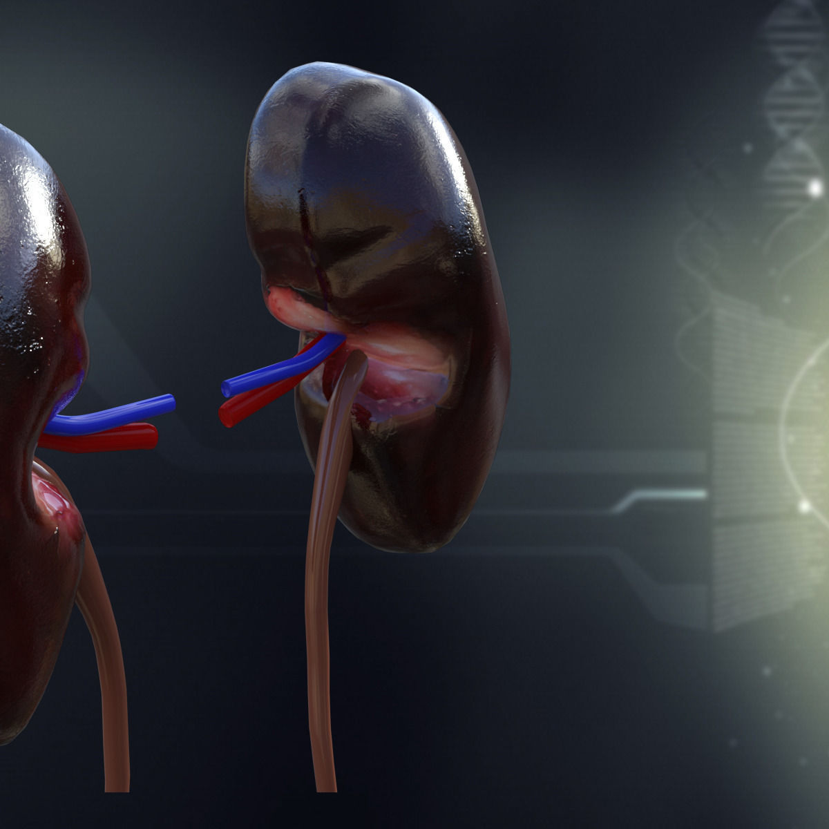 3D model Human Kidney Anatomy | CGTrader