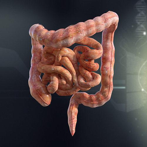 Human Small And Large Intestines Anatomy 3d Model Max Obj 3ds Fbx