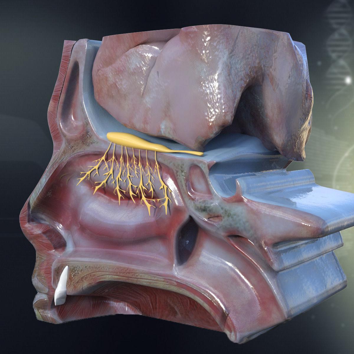 Human Nose Anatomy 3d Model Lip Cgtrader