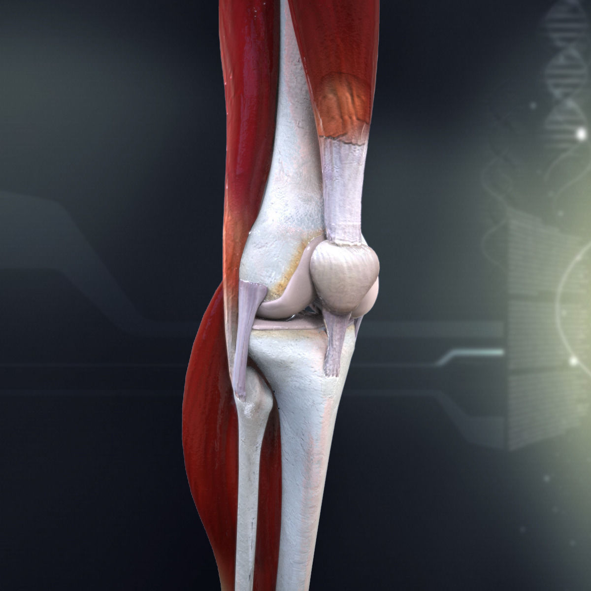 3D Human Knee Joint Anatomy | CGTrader