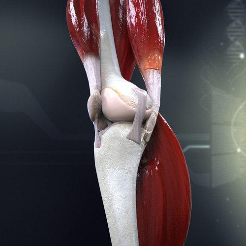 3d Model Human Knee Joint Anatomy Cgtrader