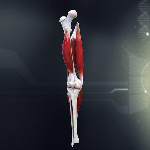 human knee joint anatomy 3d model max obj mtl 3ds fbx c4d lwo lw lws 1