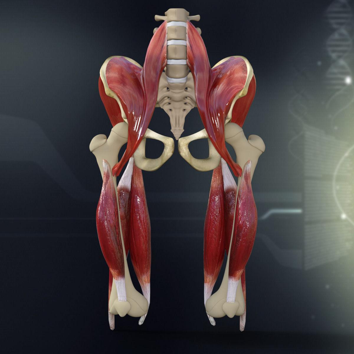 human pelvis muscle bone anatomy 3d model max obj 3ds fbx c4d lwo, Muscles