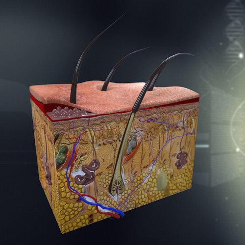 Human Skin Anatomy 3d Model Cgtrader