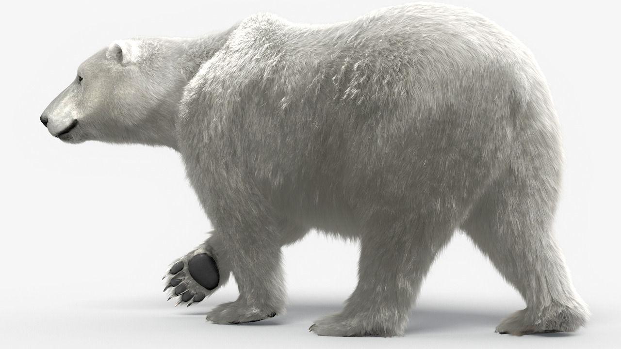 Bear-polar-maya