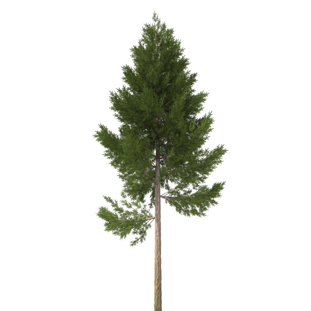 pine tree 22 m