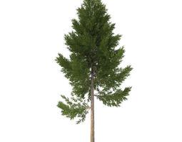 pine tree 22 m 3d model obj 3ds fbx 3dm dwg