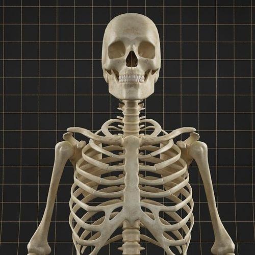anatomy skeleton 01 3d model max fbx 1