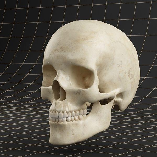 Anatomy skull 01