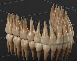 Dentition 02 3D Model