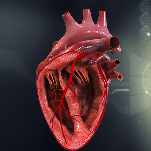 Human Heart Cutaway Anatomy 3d Model Section Cgtrader