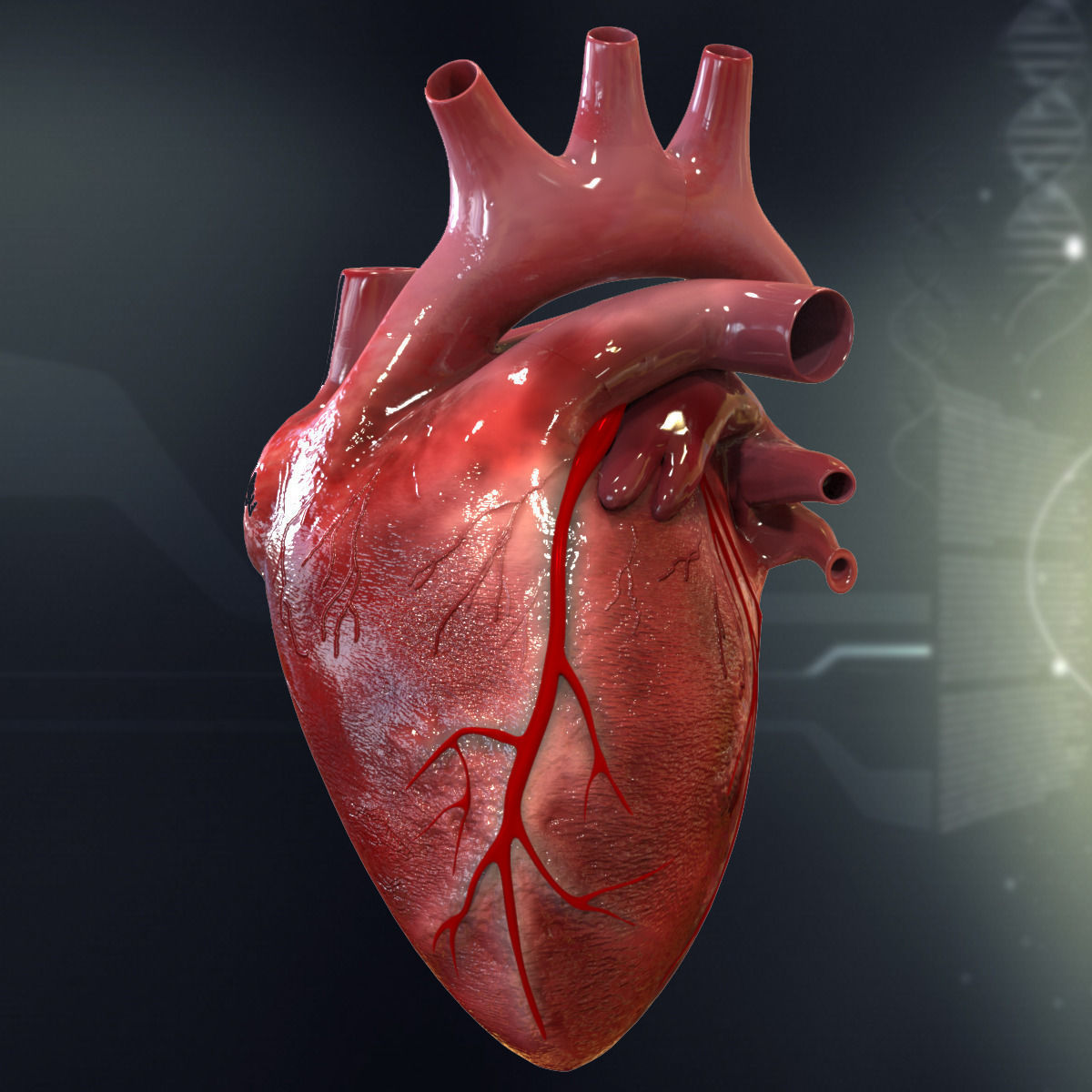 Human Heart Cutaway Anatomy 3D model section | CGTrader