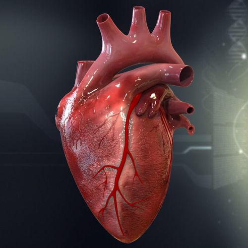 Heart anatomy 3d