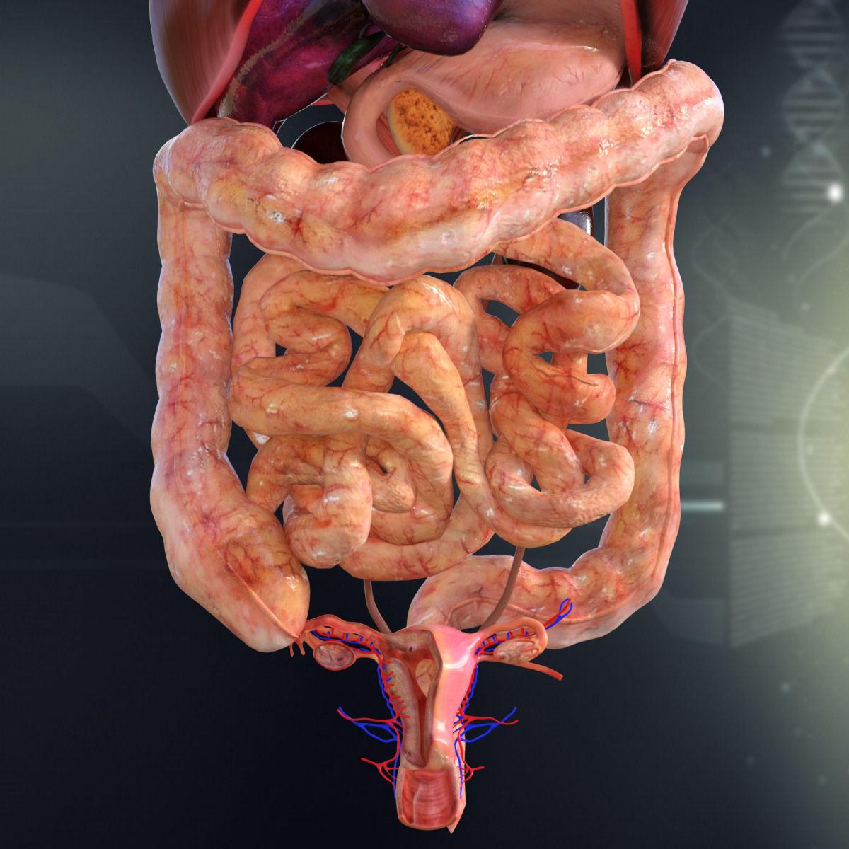 Human Female Internal Organs Anatomy 3D Model MAX OBJ 3DS ...
