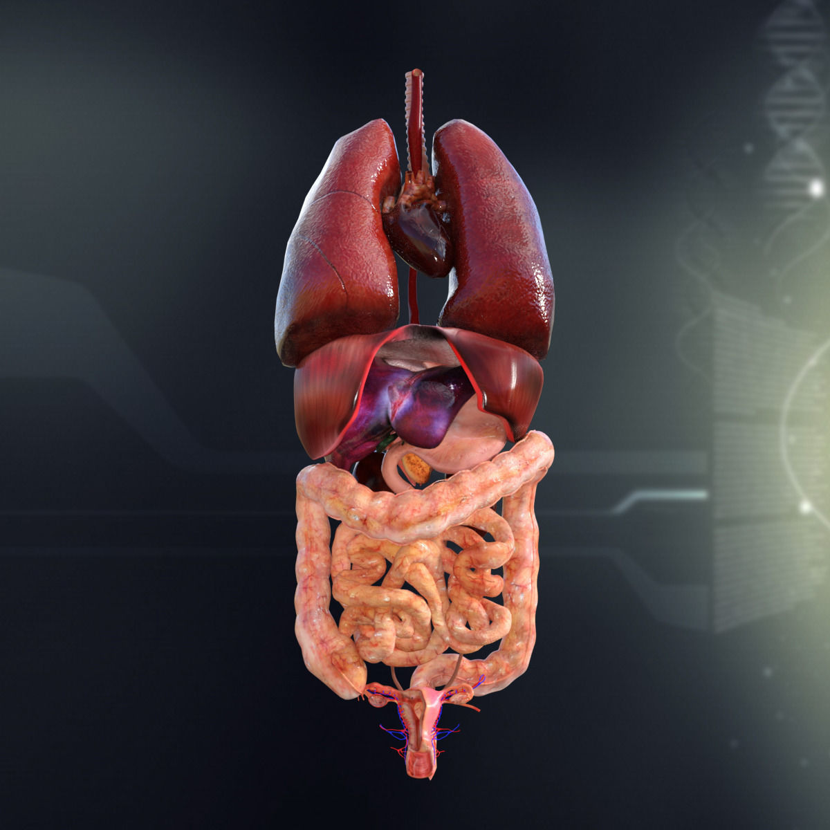 3d Human Organ Diagram - Trusted Wiring Diagram •