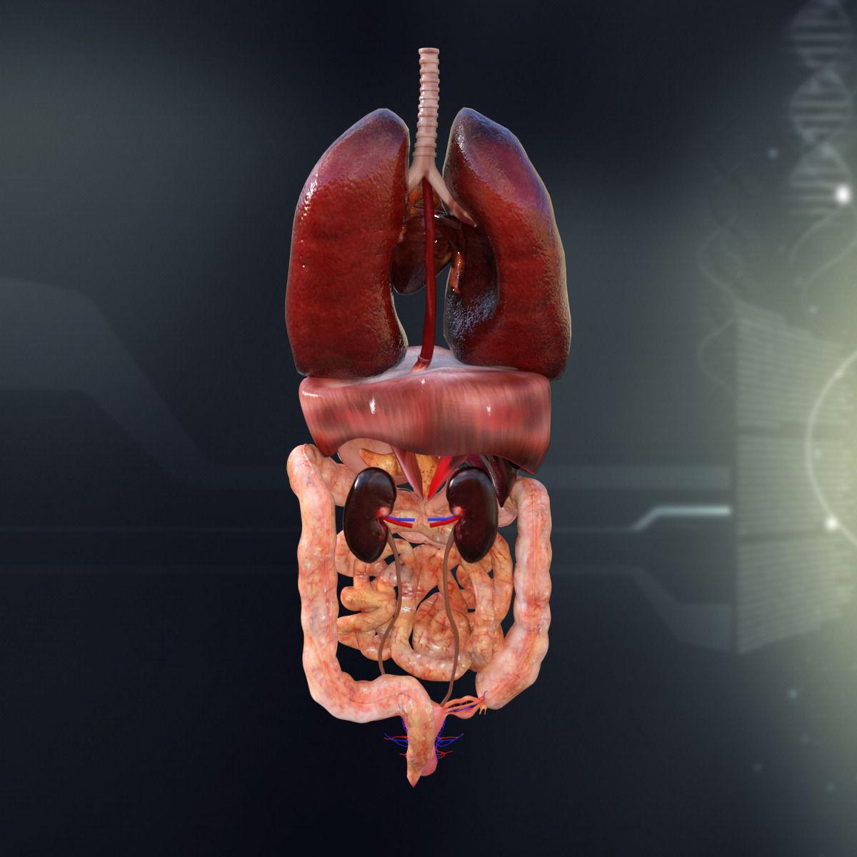 3D model Human Female Internal Organs Anatomy   CGTrader