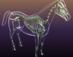 3D Horse Skeleton Anatomy in Body