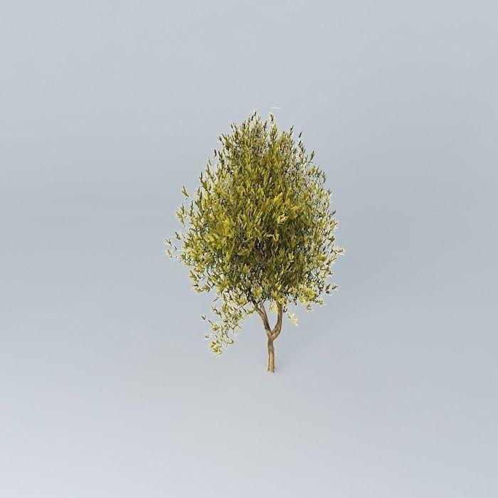 Coastal Wattle Acacia Sophorae 3d Model Cgtrader
