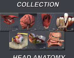3D Head Anatomy Collection