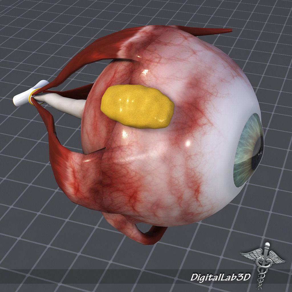 visual 3D model Human Eye Anatomy   CGTrader