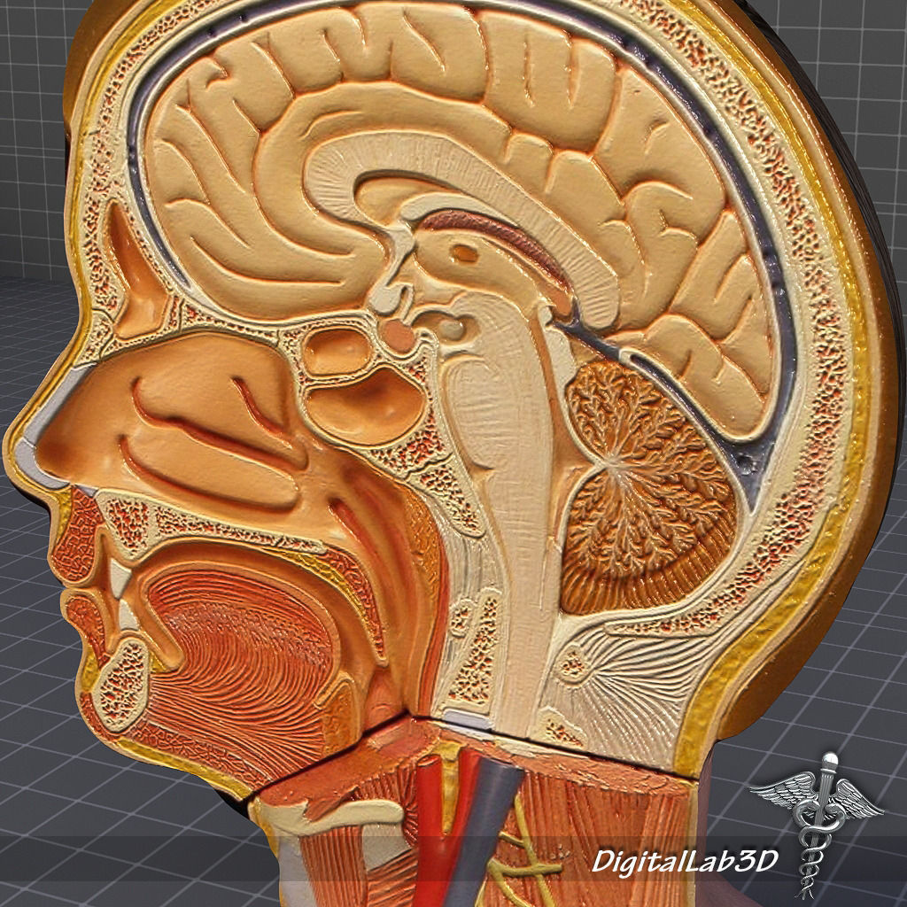 Human Head Anatomy 3d Model Cgtrader